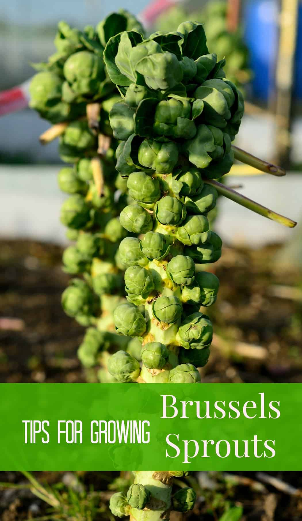 Brussel sprouts (Brassica oleracea) growing naturally.